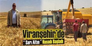 Viranşehir'de 2016 yılı Buğday hasadı başladı